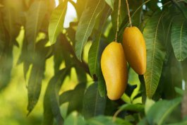How to Grow Tropical Fruit Plants in Any Zone