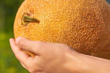 Ananas Coquette Hybrid Melon
