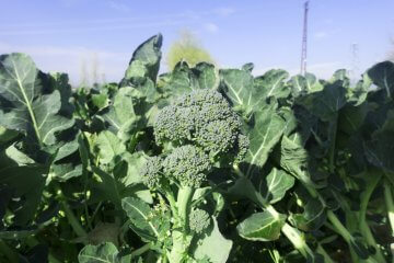 Broccoli plants growing in open ground
