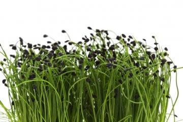 Garlic chive seedlings