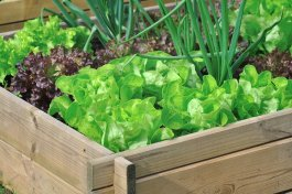 How Does Lettuce Get E. coli and How to Prevent it in a Home Garden