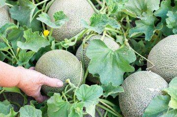 Melon growing in the garden