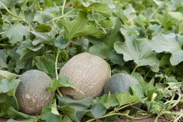 Melons growing in open ground