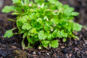 Cilantro plant growing in garden