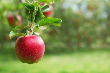 Freedom Apple Tree