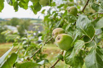Fresh apples on an apple tree in the garden