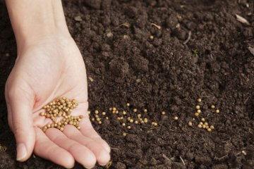 Gardener planting cilantro seeds in soil
