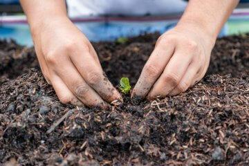 Gardener planting lettuce seedling in ground