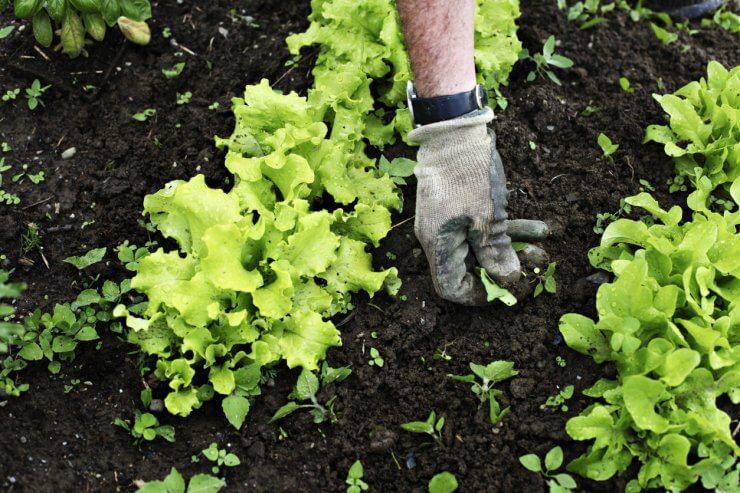 Gardener weeding a lettuce patch