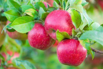 Honey crisp apples in the orchard