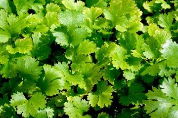 Leisure cilantro