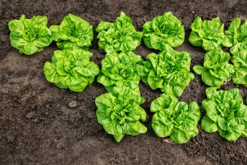 Lettuce growing in open ground