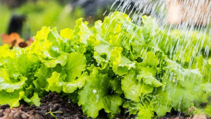Lettuce plants being watered