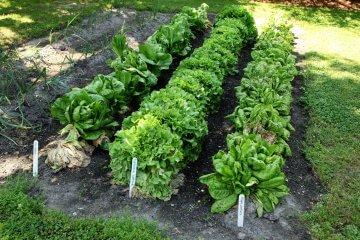 Lettuce varieties growing in a garden