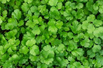 Santo cilantro