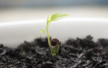 Young Apple tree seedling