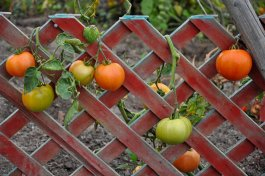 How to Build a Vertical Tomato Trellis 5 Ways